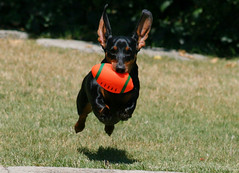 Flying Weenie (geckoam) Tags: dog pet hotdog football sausage dachshund blackdog wiener mocha catch touchdown fetch wienerdog dackel teckel linebacker doxie blackandtan orangefootball impressedbeauty onlythebestare flyingdachshund damniwishidtakenthat flyingweenie flyingdoxie