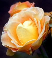 yellow rose flower (coral.hen4800) Tags: flowers red roses yellow wildlife sos cubism digitalcameraclub flowerscolors grenden platinumphoto anawesomeshot macroawardgroup colourartaward astoundingimage excellentsflowers thebestofday gununeniyisi wonderfulworldofflowers mimamorflowers auniverseofflowers awesomeblossoms flickrflowerscloseupmacros xtremeboqute magicofaworldinmacio