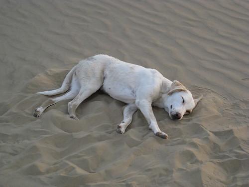 wild dog sleeps