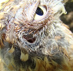 close up screech owls ear opening