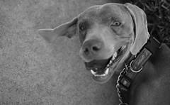 Martin (Weimaraner Rescue) Tags: california blackandwhite rescue dog pet animal losangeles homeless socal weimaraner shelter 2008 adopt adoption weim friendsforpets