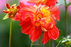 Red Dahlia (PHOTOPHOB) Tags: pink dahlia flowers autumn red summer plants plant flores flower color macro rot nature fleur beautiful beauty sex fleurs germany garden petals spring colorful flickr dof estate autum stuttgart blossom bokeh sommer herbst natur flor pflanze pflanzen blumen zomer verano bloom otoo blomma vero dalie t blume fiore blomst asteraceae outono dahlias dalia frhling bloem jesie floro kwiat killesberg dahlie lato lto sonbahar dahlien kvt blomman efterr blomsten bej dalio aplusphoto colourartaward photophob awesomeblossoms