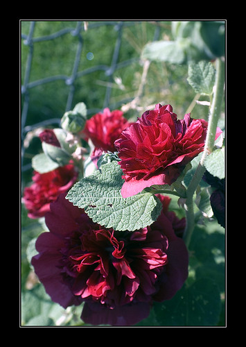 Double Red Hollyhock September 20  2008 Raw-0009small by _Anaya_.