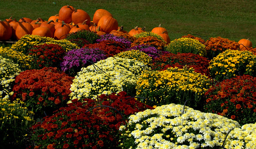 Brown County mums 20080930_2082