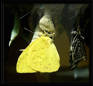 ~Butterfly soon to leave the chrysalis~