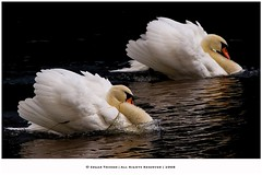 Double Trouble! (Edgar Thissen) Tags: bird nature netherlands birds swan wildlife aggressive defensive zwaan edgarthissen specanimal 40020 animalkingdomelite
