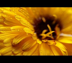 The weather  is  sweet (. a d r i a n a .) Tags: naturaleza sun flower macro nature yellow lluvia agua flor gotas amarillo shining brillante brillo theweatherissweet canoneosrebelxti
