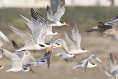Elegant Tern Flock (Thalasseus elegans) flock on Morro Strand (mikebaird) Tags: bird birds flock birding aves getty elegant tern gettyimages birdwatcher eleganttern sternaelegans thalasseuselegans slbflying 08oct2008 taxonomy:binomial=thalasseuselegans photocontesttnc10