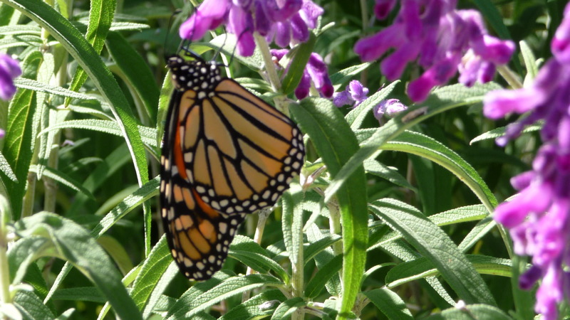 Monarch at Domaine Chandon