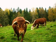 Autumn in Norway - Cattles #4