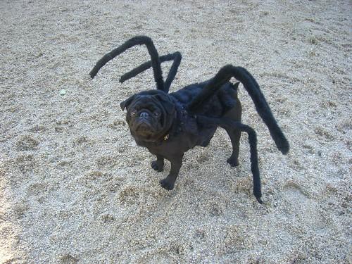 Spider-Dog pug perro
