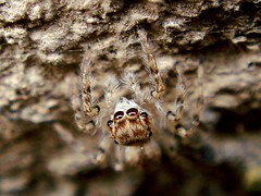 Hirsute Spider Face (With Some Eye)! (Iranian Roseate ...) Tags: wild nature beautiful beauty bug spider iran best irannature naturebeauty macrobug salmas beautifulbug wildbug flowerbugs iranbeauty iranianphotoghrapher gardeninhabitants earthinhabitants mahmoudmousavi hirsutespider