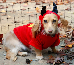 Devil dog at the gate (Doxieone) Tags: autumn red dog cute fall halloween leaves costume gate dachshund devil halloweenfall2008set