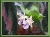 Flowers/Blooms of Calathea roseo picta cv. 'Eclipse' (Rose Painted Calathea, Rose Painted Prayer Plant)