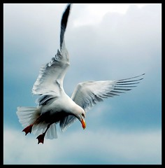 Herring Gull (Levels Nature) Tags: bird nature bravo wildlife gull flight somerset taunton herringgull topshots specanimal animalkingdomelite natureselegantshots saariysqualitypictures carlsbirdclub mygearandme