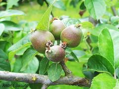 peral (andresbasurto) Tags: naturaleza color verde hojas kodak bonito fruta peral peras andresbasurto