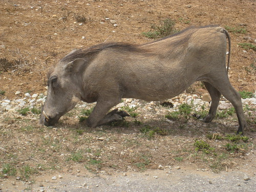The funny-looking Warthog