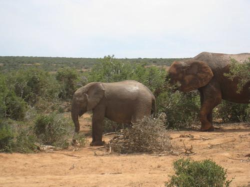 Baby elephant in Addo