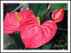 A vibrant red variety of Anthurium andraeanum in the neighbourhood