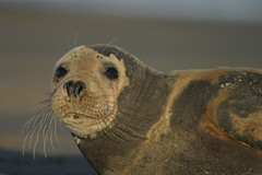 245_4553 (Cthimon) Tags: seals donnanook