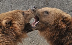 No, YOU have bear breath! (ucumari) Tags: bear november animal mammal south carolina 2008 grizzlybear riverbankszoo ucumariphotography