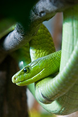 iPhone Wallpaper #4 Green Mamba (Harri_1970) Tags: wallpaper canon dangerous snake free collection download gratis canon5d poison elin fri frei iphone treesnake krme greenmamba 320x480 ipodtouch iphonewallpaper ipodtouchwallpaper downloadwallpaper myrkkykrme