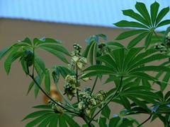 Manihot grahamii (Tatters ) Tags: flower tree australia qld toowong euphorbiaceae manihot manihotgrahamii