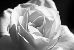 默默 (summerrunner) Tags: bw flower macro floral nikon explore taipei 60mm nikkor 花 soe 生活 arsh blueribbonwinner d80 flickrsbest flickrdiamond theperfectphotographer
