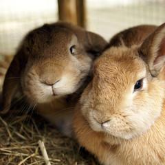 Bunny love (Sjaek) Tags: cute rabbit bunny bunnies furry fluffy lop
