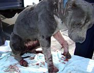 Kinship Circle - 2008-12-17 - Second Chance For Dragged Pit Bull 01 by smiteme