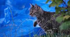 A l'affut (Pascale Dupuis) Tags: nikon chat maritime charente d60 vitaline allrightsreservedpascaledupuis