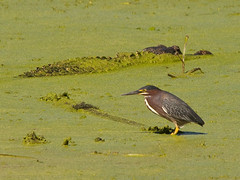 Green Heron and Alligator (spmcfarland) Tags: park green bird heron texas state bend reptile wildlife sony alligator sigma os apo alpha brazos a700 150500mm