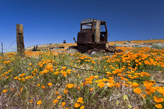 Tractor Surrounded by Poppies (K-Szok-Photography) Tags: california flowers color canon outdoors socal poppy poppies lancaster wildflowers canondslr californiawildflowers adifferentpointofview flowercolors canon1740f4lusmgroup kenszok
