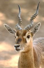 Giros (carlos_ar2000) Tags: naturaleza nature argentina animal spiral buenosaires antelope horn palermo gazelle mirada espiral glance antilope antler gacela cuerno digitalcameraclub