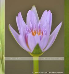 The Lotus ({ahradwani.com} Hawee Ta3kees- ) Tags: flowers macro yellow lotus ali mauve hassan 70300mm 2009 doha qatar  d90      nikond90 nikon70300mmvr   macroflowerlovers  nikond90club hawee  haweeta3kees   ta3kees ahradwanicom ahradwani nikond90sampleimages