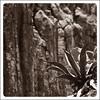 Maguey Monocromático (Rafa Barajas) Tags: cactus mexico hidalgo piedra ltytr2 ltytr1 ltytr3