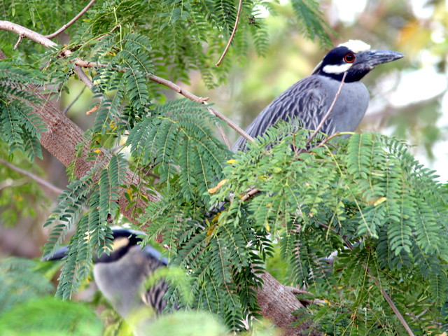 Yellow-crowned Night-Herons 20110526