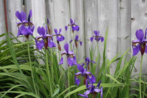 Siberian Iris in Bloom