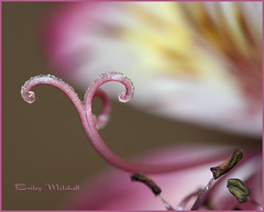 Lily Macro (DustDevilDiver (Briley Mitchell)) Tags: flower macro home texas midland allxpressus