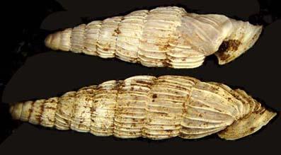 lerosiensis2b