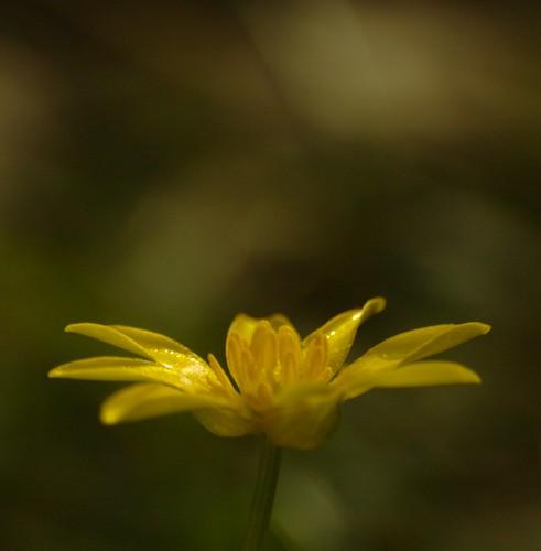 Ranunculus ficaria - Speenkruid, Lesser Celandine