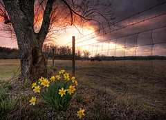 Field of Cows (blakelipthratt) Tags: sunset cloud sun plant storm flower tree field grass yellow photoshop sunrise canon ga fence georgia cow wire cattle sigma brunswick pasture daffodil 1020 hdr photomatix sandersville xti