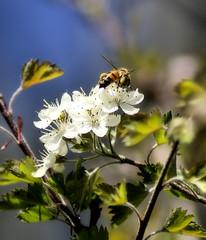 Working Bee (dws1724) Tags: flowers plants flower nature animals pentax wildlife bees natur insects 70300mm tamron tup k100d onlyyourbestshots tamron70300mmf456dildmacro tamronaf70300mmf456dildmacro theunforgettablepictures justpentax goldstaraward