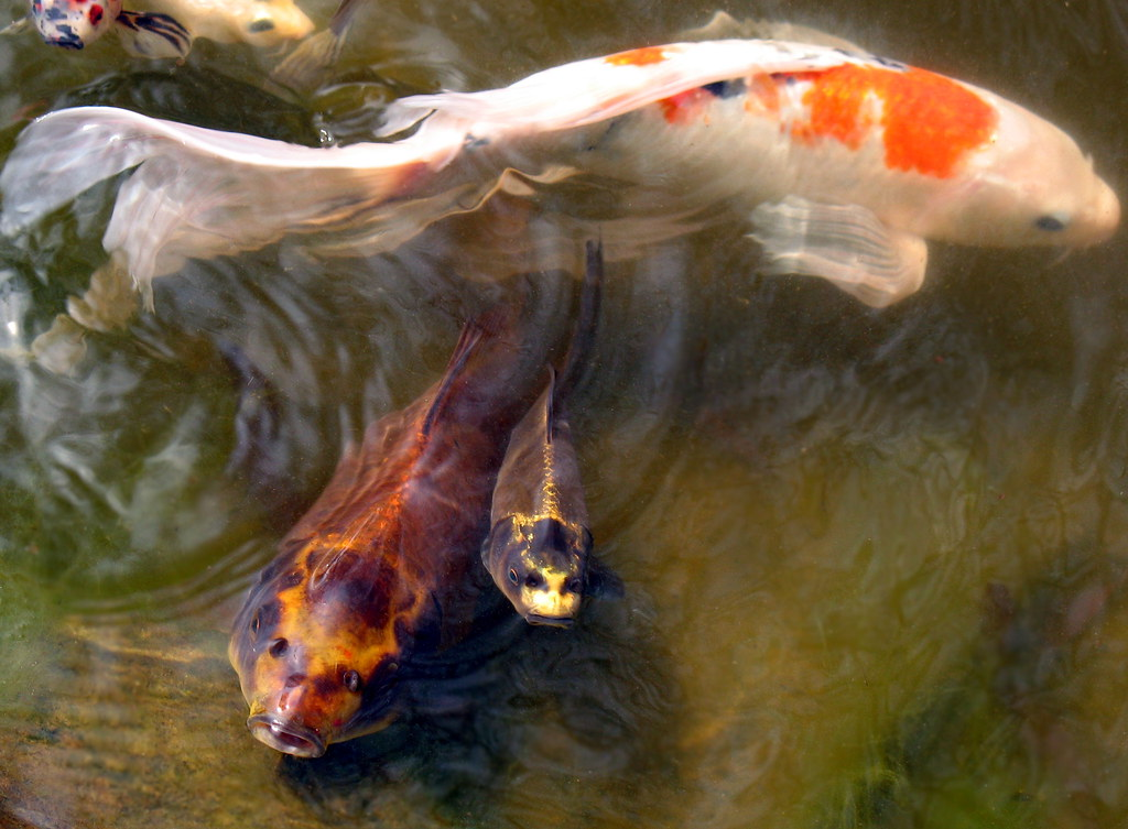 The world 39 s best photos by alice chaos flickr hive mind for Koi fish and goldfish