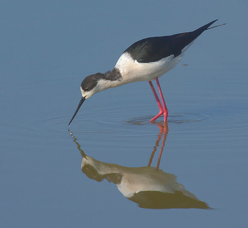 Joan Sabaté 拍攝的 Camesllargues, Cigueñuela, Himantopus himantopus, Black-winged Stilt。
