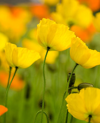 Poppies (Nana* <salala817>) Tags: flowers orange flower yellow poppy poppies cubism  themoulinrouge naturesfinest firstquality amazingcolor mywinners abigfave superbmasterpiece diamondclassphotographer brillianteyejewel theperfectphotographer goldstaraward natureselegantshot mimamorflowers