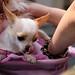 チワワ:Chihuahua_12