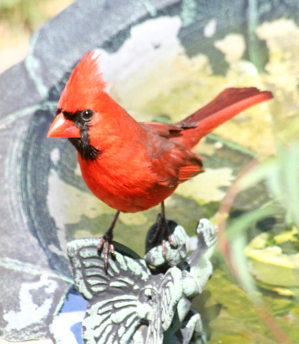 northern cardinal bird bath