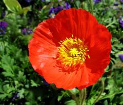Red Poppy (Batikart ... handicapped ... sorry for no comments) Tags: travel red summer plant flower macro rot nature yellow closeup canon germany garden square geotagged deutschland flora europa europe blossom sommer natur pflanze meadow wiese gelb poppy blume makro blte garten canonpowershot a610 mohn fellbach icelandpoppy papaveraceae swabian islandmohn papavernudicaule canonpowershota610 25faves viewonblack favemegroup6 batikart