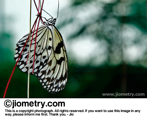 An unmoving Paper Kite butterfly